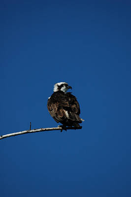 Photograph - Osprey 3 by David Weeks