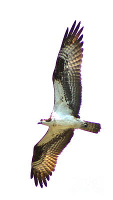Photograph - Osprey 4 by Pamela Walrath