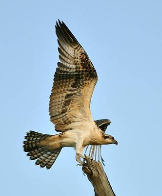 Art Print featuring the photograph Osprey After Flight by Rick Frost