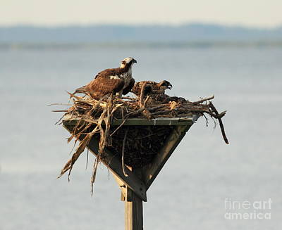 Osprey And Chicks Art Print by Ursula Lawrence