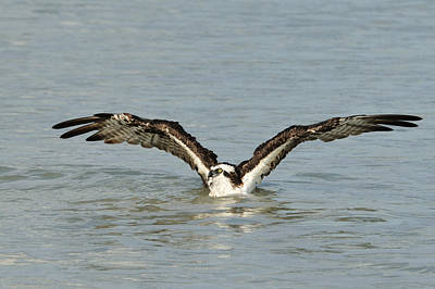 Photograph - Osprey Bathing by Bradford Martin