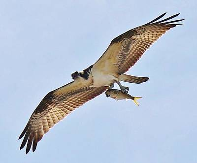 Osprey Carrying His Lunch Print by Paulette Thomas