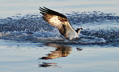 Osprey Crashing The Water Art Print by Bill Cannon