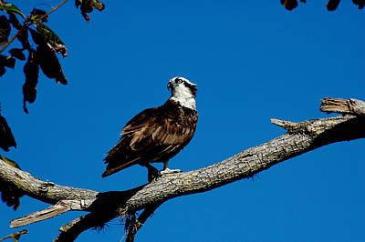 Photograph - Osprey by David Weeks