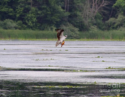 Photograph - Osprey by September  Stone