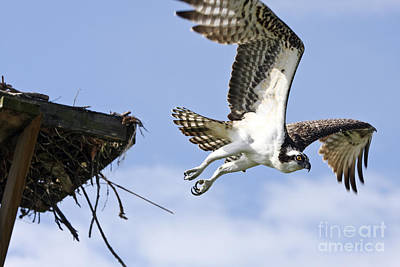 Osprey Flying From Nest Art Print by John Van Decker