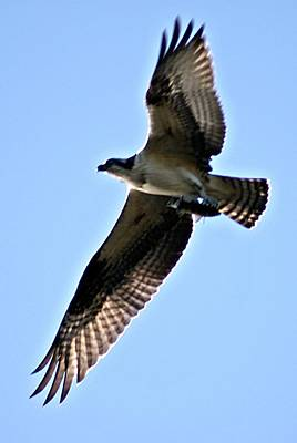 Photograph - Osprey I by Joe Faherty