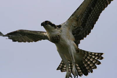 Photograph - Osprey In Flight by Christopher Kirby
