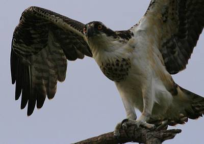 Photograph - Osprey Lands by Christopher Kirby