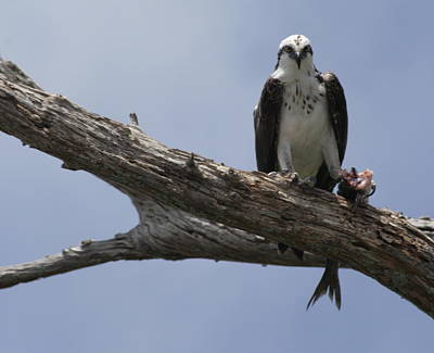 Photograph - Osprey Lunches On The Loxahatchee by Christopher Kirby