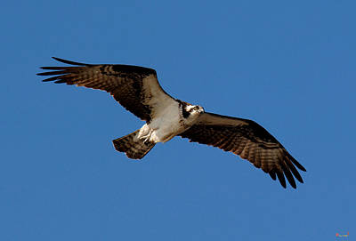 Photograph - Osprey Or Fish Hawk Drb012 by Gerry Gantt