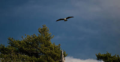Photograph - Osprey by Paul Mangold
