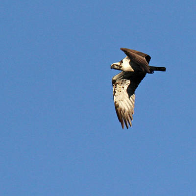 Y120831 Photograph - Osprey by photography by Linda Lyon