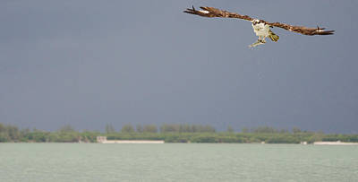 Osprey With Catch Art Print by Mike Rivera