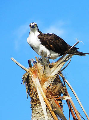 Photograph - Osprey With Fish by Judy Wanamaker