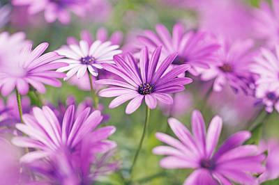 Close Focus Nature Scene Photograph - Osteospermum Flowers by Frank Krahmer