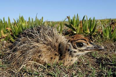 Ostrich Photograph - Ostrich Chick by Peter Chadwick