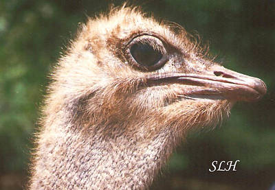 Photograph - Ostrich by Lee Hartsell