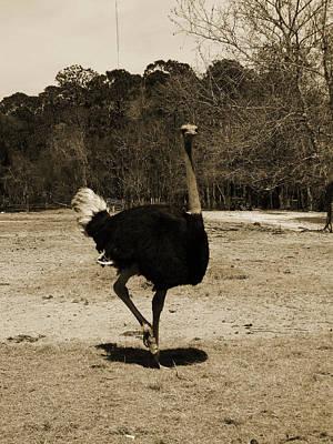 Ostrich Art Print by Pamela Stanford