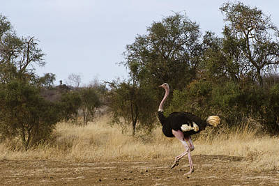Ostrich Prance Art Print by Marion McCristall