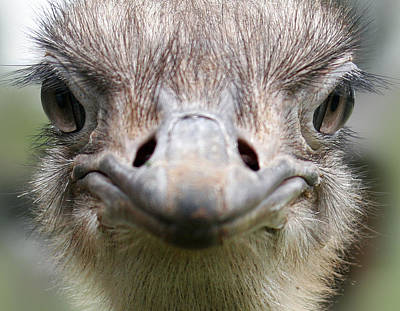 Photograph - Ostrich Quizical by C Ribet