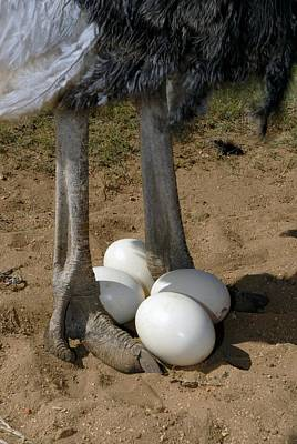 Ostrich Photograph - Ostrich With Eggs by Peter Chadwick