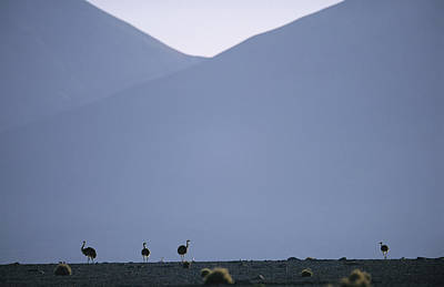 Ostrich Photograph - Ostriches In The Atacama Desert by Joel Sartore