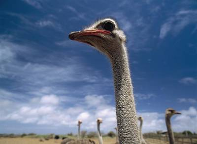 Ostrich Photograph - Ostriches On Ostrich Farm by Axiom Photographic