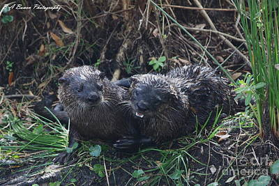 Photograph - Otter Couple by Barbara Bowen