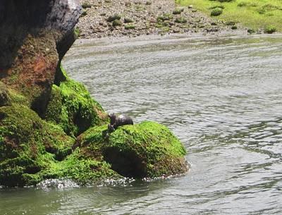 Art Print featuring the photograph Otter In Bellingham Bay by Karen Molenaar Terrell
