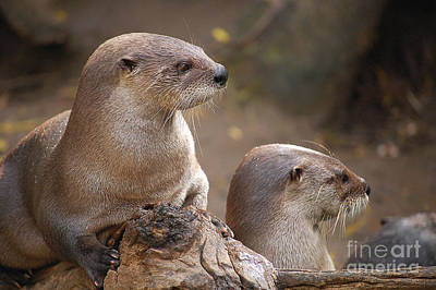 Photograph - Otters by Anjanette Douglas