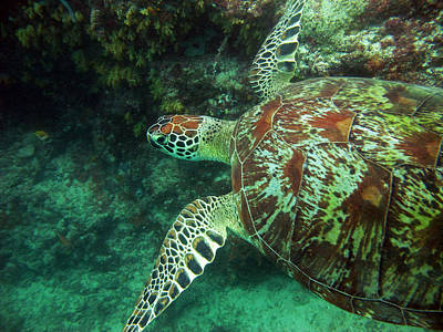 Green Sea Turtle Photograph - Out For A Swim by JP Lawrence