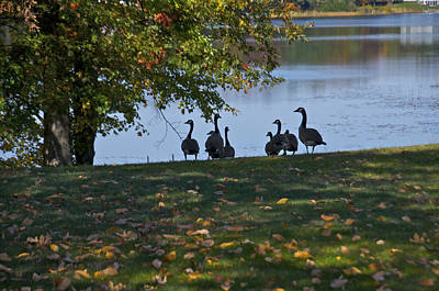 Geese Photograph - Out For An Afternoon Stroll by Sheryl Thomas