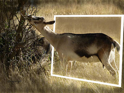Photograph - Out Of Bounds Goat by Cindy Wright