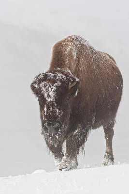 Buffalo Extinction Photograph - Out Of The Fog by D Robert Franz