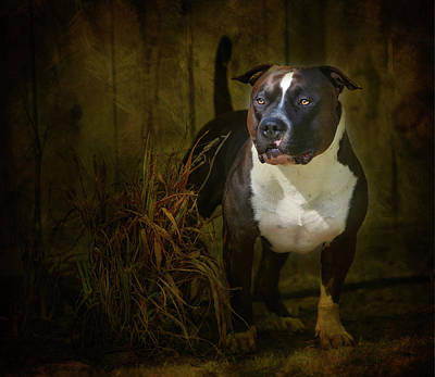 Pitbull Wall Art - Photograph - Out Of The Shadows by Larry Marshall