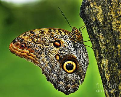 Butterlfy Photograph - Owl Butterfly - Caligo Eurilochus by JH Photo Service