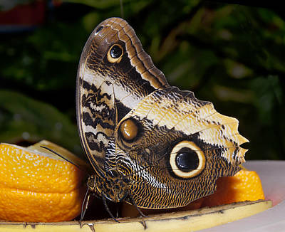 Photograph - Owl Butterfly Caligo Sp by Robin Webster