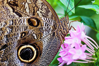 Butterfly Photograph - Owl Butterfly by Daniel Osterkamp