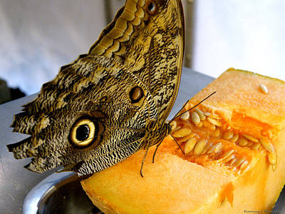 Photograph - Owl Butterfly Eats Cantaloupe by Kimmary MacLean