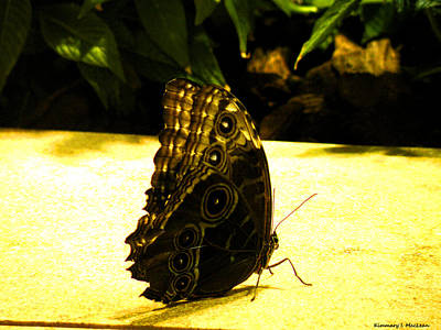 Photograph - Owl Eye Butterfly by Kimmary MacLean