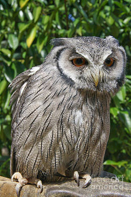 Photograph - Owl by Jo