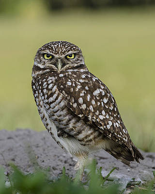 Photograph - Owl Stare by Mike Fitzgerald