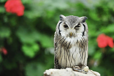 Owl With Blurred Background Art Print by Copyrights(c) All rights reserved by Haruhisa Yamaguchi