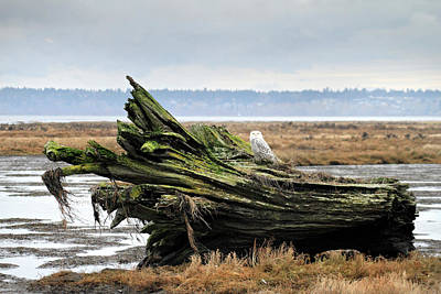 Photograph - Owls At Boundary Bay Vancouver by Pierre Leclerc Photography