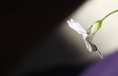 Oxalis Bloom Art Print by Kume Bryant
