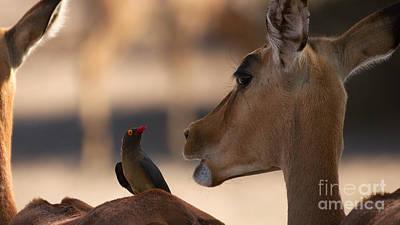 Photograph - Oxpecker And Impala by Mareko Marciniak