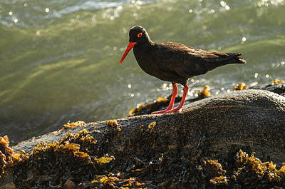 Photograph - Oystercatcher by Alistair Lyne