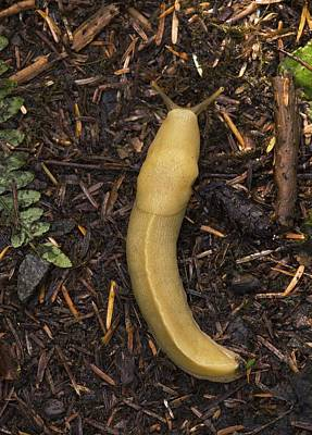 Photograph - Pacific Banana Slug by Bob Gibbons