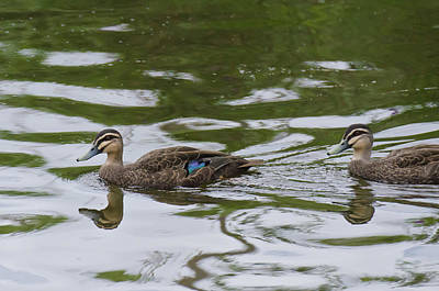 Photograph - Pacific Black Ducks by Harry Strharsky